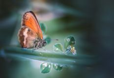 Orange butterfly on a leaf. Orange butterfly on a dark green background stock photography