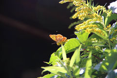 Orange butterfly. On leaf and yellow flower Royalty Free Stock Photos