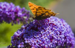 Orange Butterfly on lilacs flower royalty free stock photos
