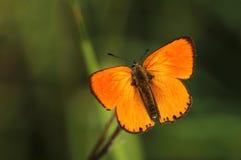 Orange butterfly Lycaena virgaureae Stock Image