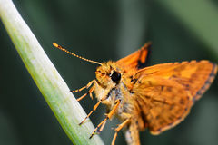 Orange Butterfly. Macro of insects Orange Butterfly stock photos