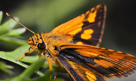 Orange Butterfly. Macro of insects Orange Butterfly stock images