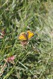 An orange butterfly in the meadow in springtime. An orange butterfly in the meadow in spring. Location: hill country of Lower Austria. Butterfly: Lycaena dispar stock image