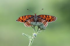 Orange Butterfly Melita spread its wings on a summer morning. In a meadow stock image