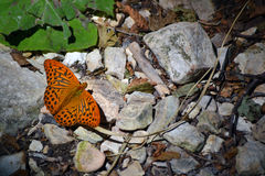 Orange butterfly Melitaea didyma sitting on stones by the river. In central mountains in Italy royalty free stock image