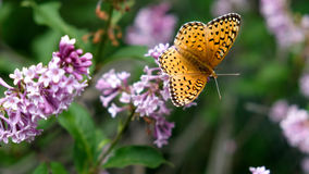 Orange butterfly. A Northwestern Fritillary butterfly sitting on a purple lilac flower seen from the top Royalty Free Stock Image