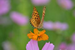 Orange butterfly. One orange butterfly stay on a daisy flower royalty free stock image