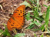 Orange butterfly with open wings. On the ground. Green grass. Black and white pints on the orage wings royalty free stock image