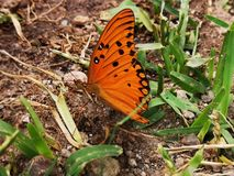 Orange butterfly with open wings. On the ground. Green grass. Black and white pints on the orage wings. Details of legs and antennas stock photos