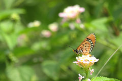 Orange Butterfly. On Pink White Flower In Park Stock Images