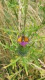 An orange butterfly. At a purple flower royalty free stock photography