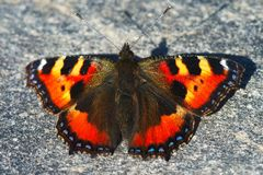 Orange butterfly on a rock. Orange butterfly royalty free stock photos