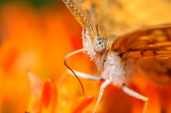 Orange Butterfly on an Orange Flower. Very Close Up Stock Photos