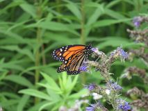 Orange butterfly. Orange monarch butterfly in nature royalty free stock photos