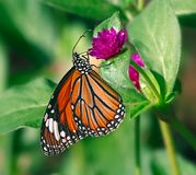 Butterfly striped tiger or Danaus genutia on a purple flower. Orange butterfly Oriental striped tiger or Danaus genutia on a purple flower of common globe royalty free stock photography