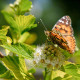 Orange butterfly. A Painted Lady butterfly sitting on a white flower seen from the side Stock Images