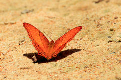 Orange butterfly. The Orange butterfly in Pangsida royalty free stock photography