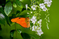 Orange Butterfly. Picture of an orange winged butterfly perched on a white drooping flower with green ba lground stock photo