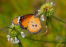 Orange butterfly Plain tiger on white flowers. Orange butterfly Plain tiger or Danaus chrysippus, Nymphalidae family, drinking nectar on white flowers in a royalty free stock photos