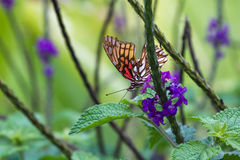 Orange butterfly on porter weed. Tranquil nature scene with a tropical orange butterfly feeding on porterweed flower nectar royalty free stock image