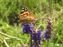 Alertness. Orange butterfly on a purple bud royalty free stock images
