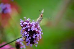 Butterfly on flower. Orange butterfly on a purple flower royalty free stock image