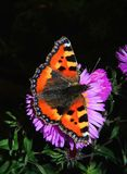 Orange Butterfly on Purple Flower Royalty Free Stock Image