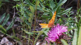 Orange Butterfly on a purple flower. Butterfly flew on purple flower in it and ische nectar stock video footage