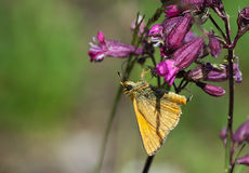 Orange butterfly on a purple flower Royalty Free Stock Photos