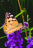 Orange butterfly on purple lavender. stock photos