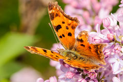 Orange Butterfly on a Purple Lilac Flower. Orange Butterfly on a Purple Lilac Bush with a Green Background Stock Photography