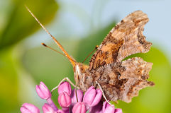 Orange Butterfly on a Purple Lilac Flower. Orange Butterfly on a Purple Lilac Bush with a Green Background Royalty Free Stock Photo