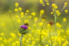 Orange Butterfly on Purple Thistle Flower with Yellow Wildflower Background. Orange butterfly on purple thistle flower in field of yellow wildflowers stock images