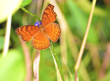 Orange butterfly with purplish flower. An orange butterfly search nectar Stock Image