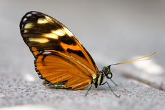 Orange Butterfly recovering after falling into the water Stock Image