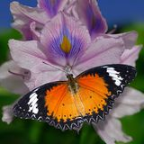 Orange butterfly Red Lacewing on a violet water hyacinth flower royalty free stock photos