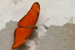 Orange butterfly resting. Orange and black butterfly resting on the cement looking for water royalty free stock images