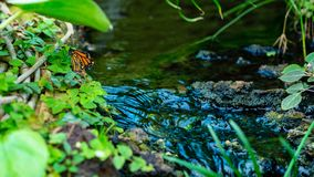 Orange butterfly are setting near brook in jungle.  royalty free stock photo