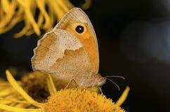 Orange butterfly. Sits on orange flower stock photography