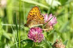 Orange butterfly on a pink flower. An orange butterfly sits on a flower alfalfa. On a green background royalty free stock image