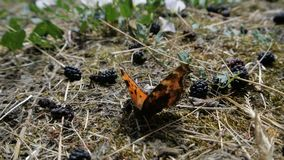An orange butterfly sits on the ground near the mulberry in slow motion. stock footage