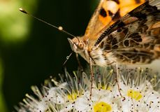 Butterfly on a flower. Orange butterfly sits on a white flower royalty free stock photos