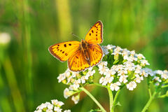 Orange butterfly sits on a whites flowers on spring meadow Royalty Free Stock Photography