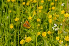 Orange butterfly sits on a yellow flower. Among the green grass stock image