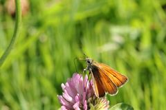 Butterfly. Orange butterfly is sitting on the clover royalty free stock photography
