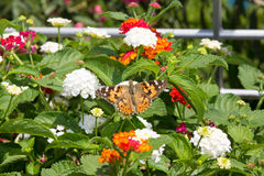 Orange butterfly sitting on the flower Royalty Free Stock Photos