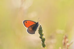 Orange butterfly sitting on a fluffy blade of grass on a summer meadow Royalty Free Stock Images