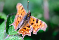 Orange butterfly. Sitting on grass stock images