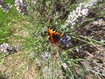 Orange butterfly sitting on lavender. Orange butterfly (aglais urticae) sitting on purple lavender flower Stock Image