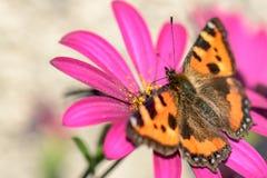 Orange butterfly sitting on purple flower. Orange butterfly sitting on pink purple flower Royalty Free Stock Photography